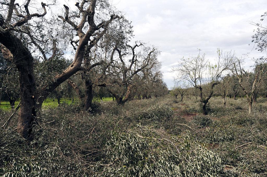 beim nachbarn - olivenschnitt - urupia 2015 (45)